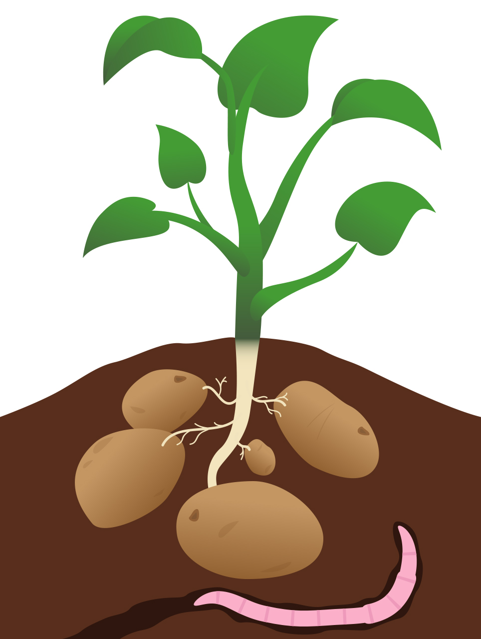 ... Potato_Plant.jpg Clipart - Free Nutrition and Healthy Food Clipart